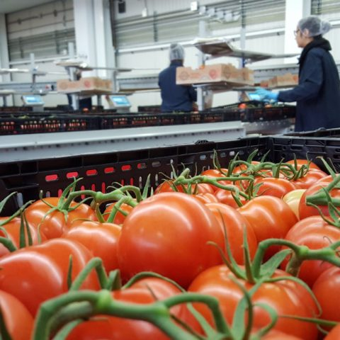 Rougeline MARCO case study tomatoes