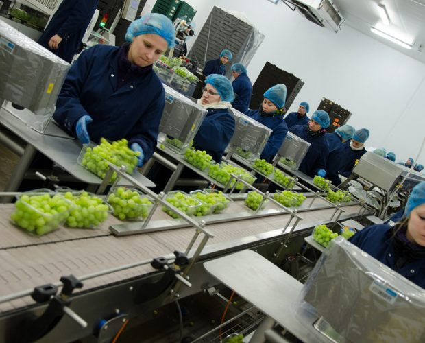 Grapes on conveyor 7
