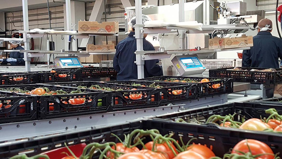Tomatoes in packhouse